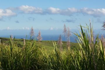 champs de canne à sucre en fleur