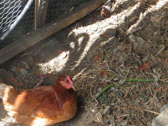 une de nos deux poulettes
